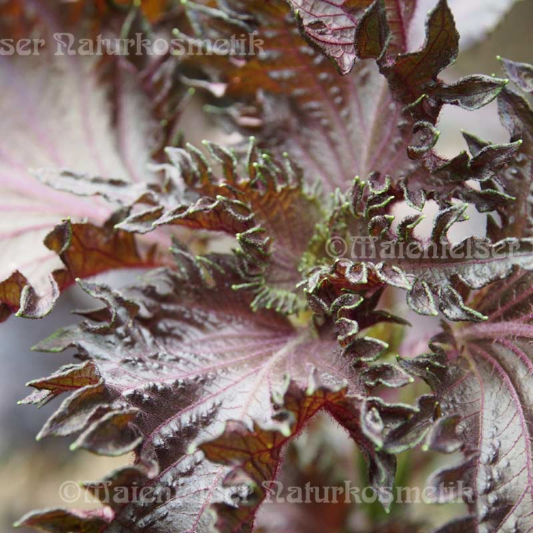 Shiso of Perilla - 2 ml