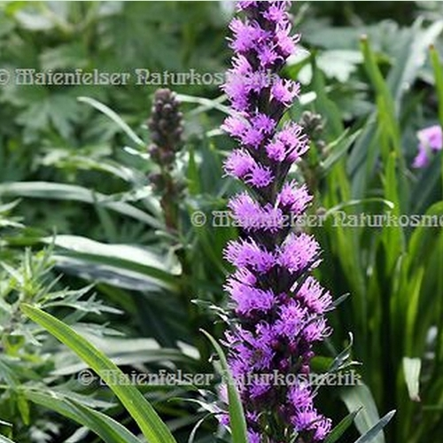 Liatris - 1 ml