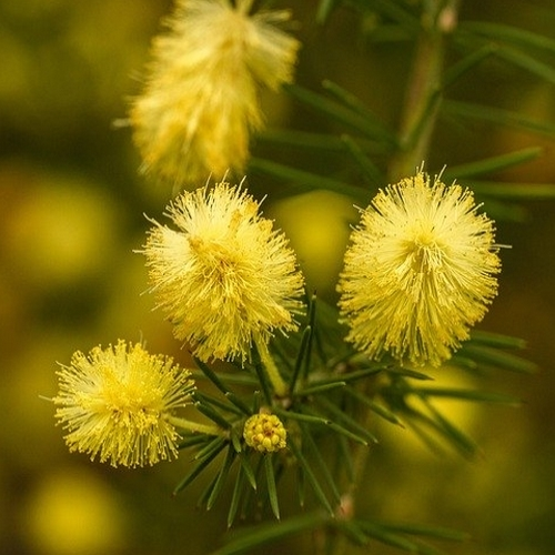 Acacia bloemen wax - 7 ml