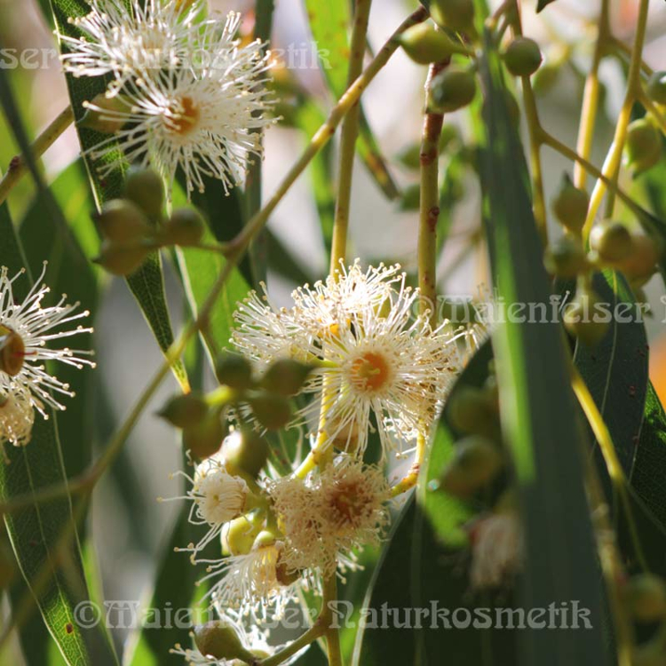 Eucalyptus Crypton - 3 ml
